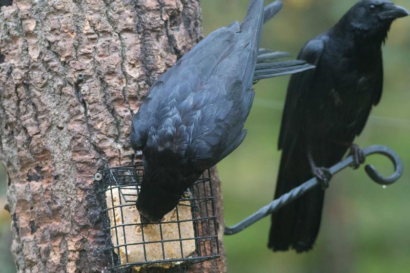 American Crow Skogstjarna Carlton County MN DSC07584.jpg