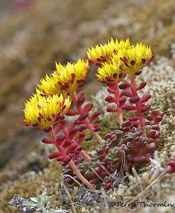 Stonecrop family, Crassulaceae