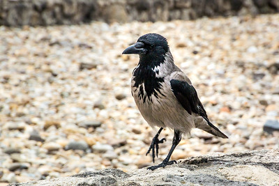 Hooded Crow Raven
