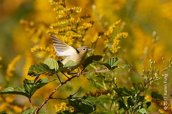 Mystery Warbler