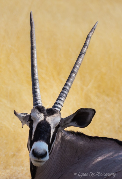 Oryx Looking Up