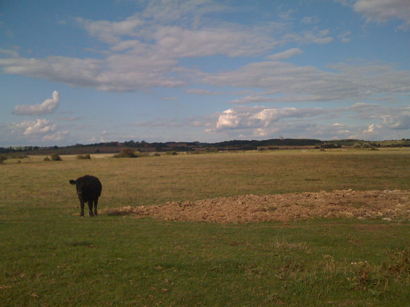 Wealden cow