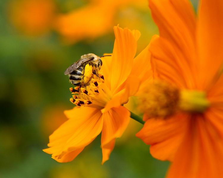 Sleeping bee on cosmos