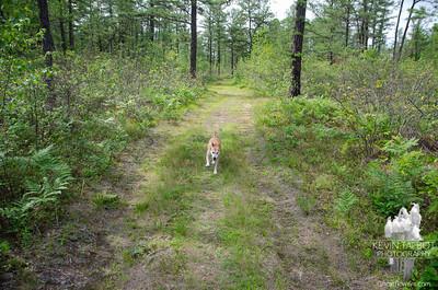 Ossipee Pine Barrens- Silver Lake- Foss Mountain 8-3-21
