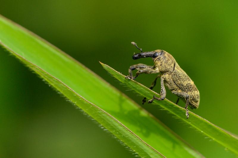 Elephant-Weevil-agumbe.jpg