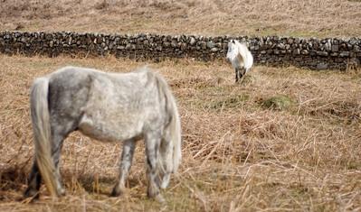 Erishay ponies