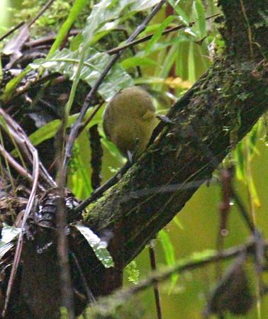 Unidentified Small Golden Bird