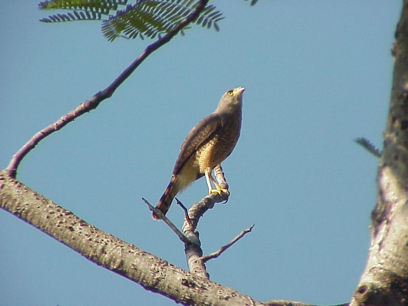 Roadside Hawk at Rancho la Merced Costa Rica 2-17-03 (50898244)