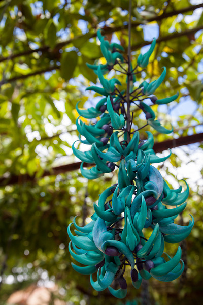 Jade Vine in the gardens at Truc Lam Pagoda.