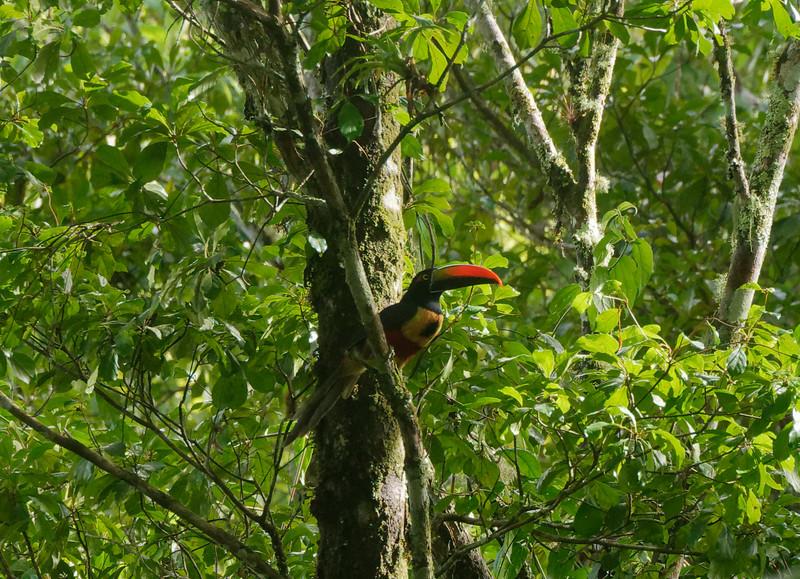 Fiery-billed Aracari (Pteroglossus frantzii)