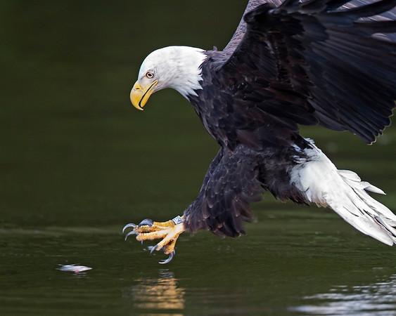 james river eagles