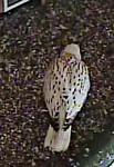 Superwhite chick on nest ledge