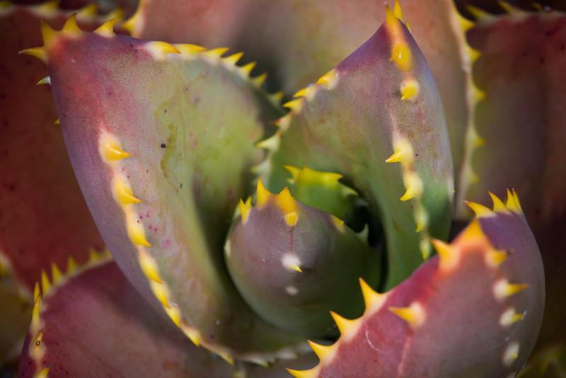 Aloe distans DSC_2075.jpg
