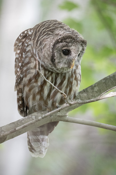 #654 Barred Owl