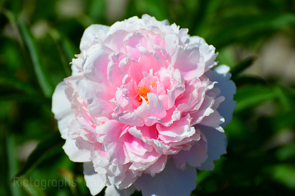 rictographsimages.com/Flowers/Peonies