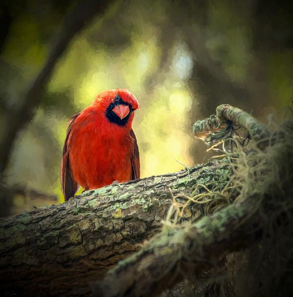 _cardinalDSC4040t.jpg