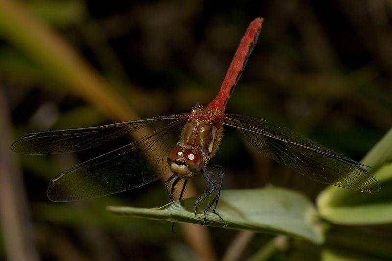 Dragonfly. 70-300ED + 6T