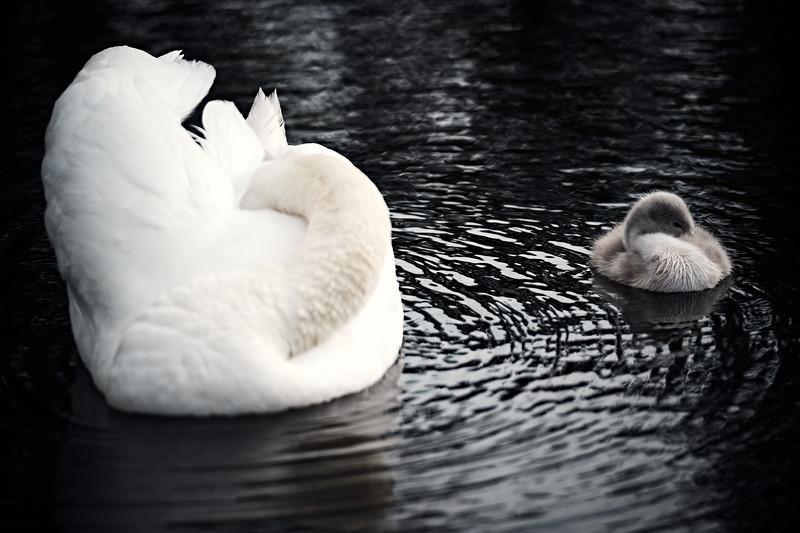 Swans_Of_Castletown027.jpg