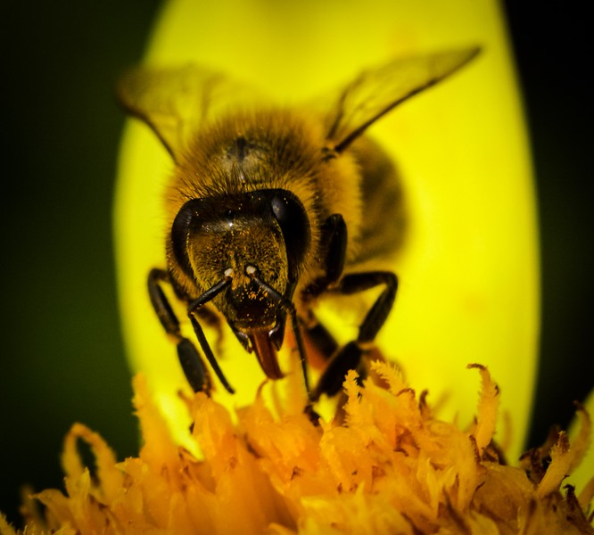 honey bee tongue 2.jpg