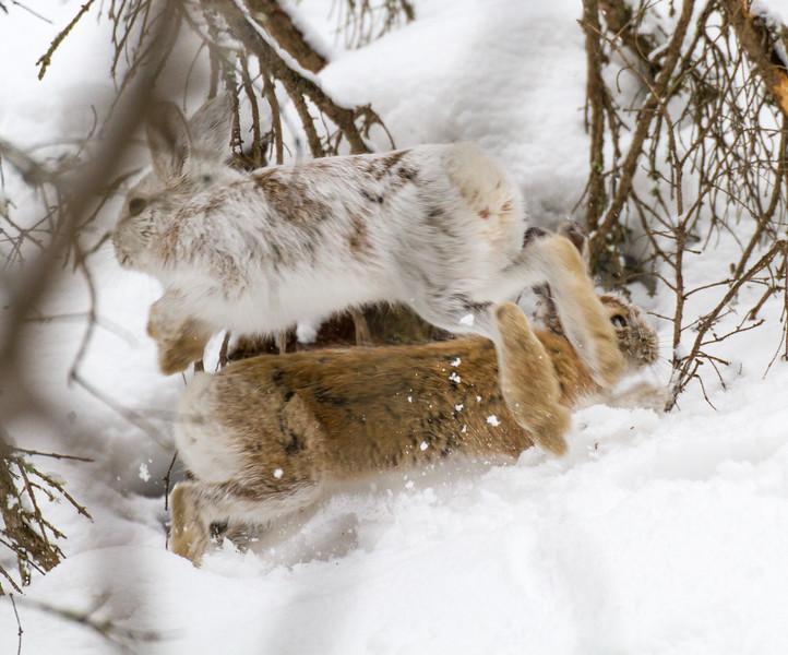 Snowshoe Hare Warren Nelson Memorial Bog Sax-Zim Bog MNIMG_0726.jpg