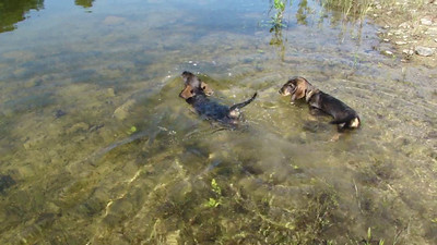 Swimming dachshunds