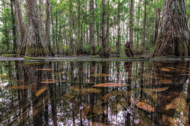 Cypress dome swamp reflections