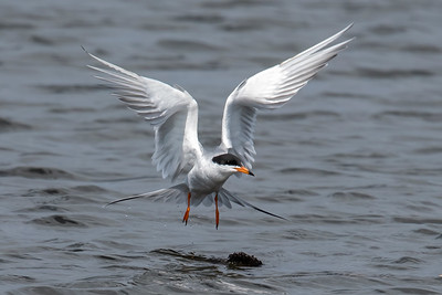 May 3, 2020 - Forster's Terns