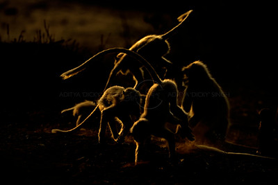Playful backlit langurs