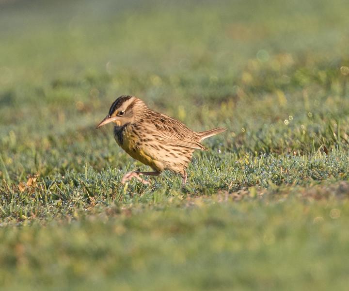 Western Meadowlark Mission Bay 2018 11 09-4.CR2