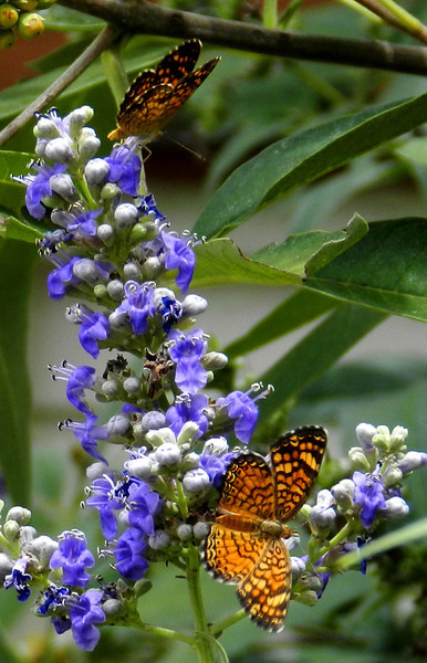 Butterflies tiny black and orange on Vitex.jpg