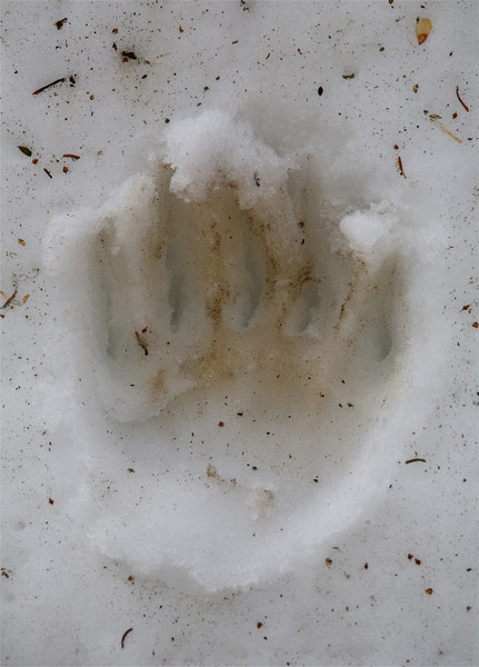 A fresh grizzly track on the snow of Dunraven Pass