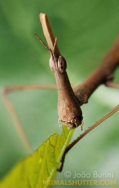 Portrait of a horsehead grasshopper