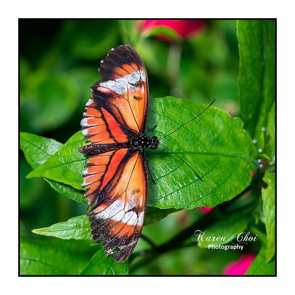 sm Orange Buttlerfly sideways on a leaf.jpg