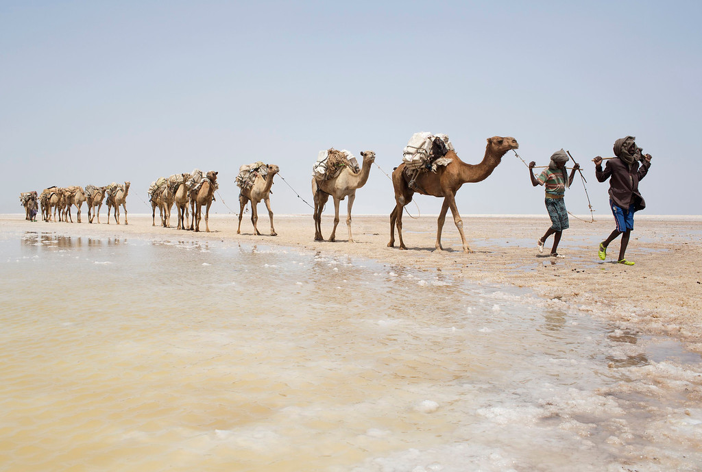 . A camel caravan carrying slabs of salt travels away from the Danakil Depression, northern Ethiopia  April 22, 2013. The caravan will take two days to arrive at the town of Berahile where it will unload and sell the product to a salt association. The Danakil Depression in Ethiopia is one of the hottest and harshest environments on earth, with an average annual temperature of 94 degrees Fahrenheit (34.4 Celsius). For centuries, merchants have travelled there with caravans of camels to collect salt from the surface of the vast desert basin. The mineral is extracted and shaped into slabs, then loaded onto the animals before being transported back across the desert so that it can be sold around the country. Picture taken April 22, 2013. REUTERS/Siegfried Modola
