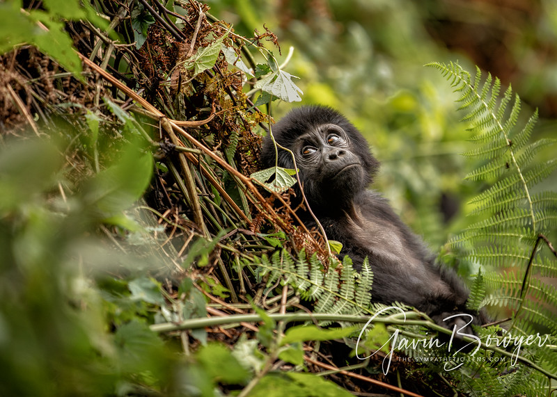 gorillas web-13.jpg