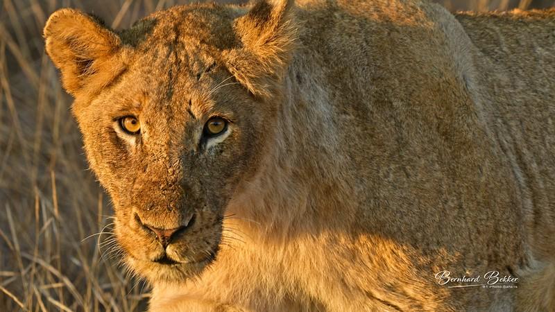 Lion cubs copy.jpg