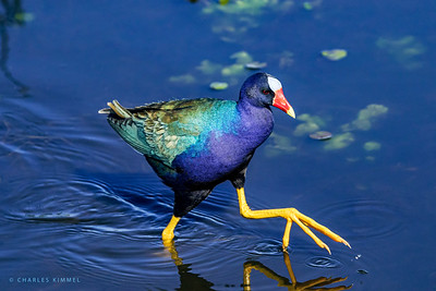 Purple Gallinule & Swamp Hens 2020