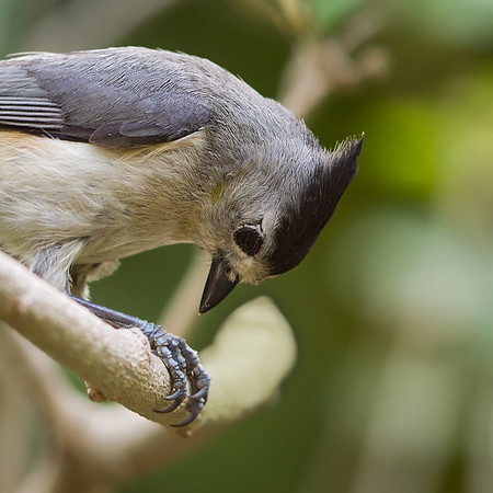 Blackcrested Titmouse