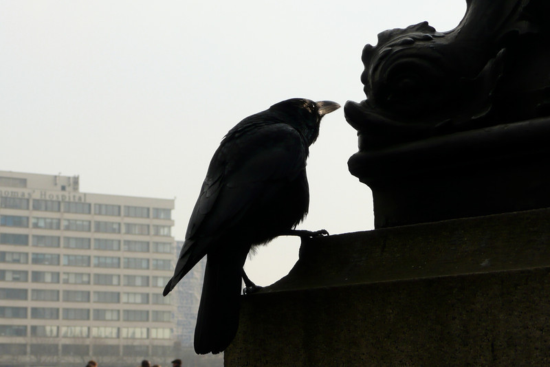 Crow by the River Thames. London