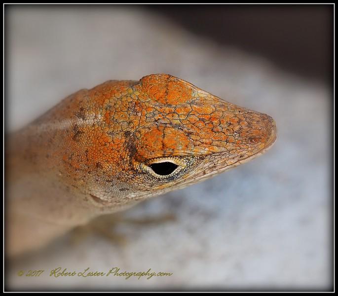 2017-04-19_P4190041_ anole lizard,Clwtr,fl.JPG