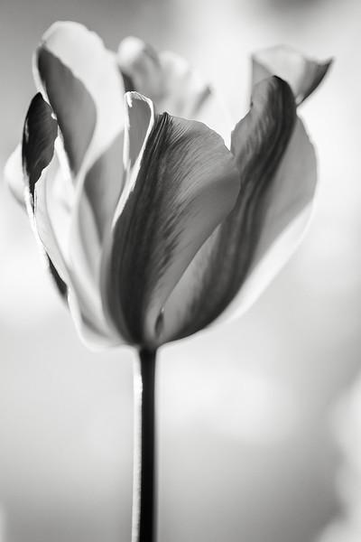 viridiflora-tulip-02.jpg