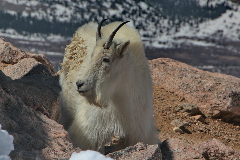 Mountain Goat at summit