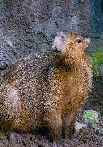 Capybara - Pardon me sir, do you have some Grey Poupon