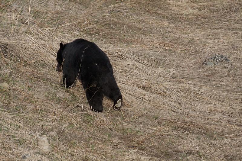Black Bear Yellowstone National Park WY IMG_4899.jpg