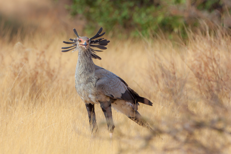 Secretarybird  (Sagittarius serpentarius)