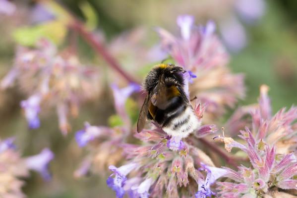 Trädgårdshumla (Bombus hortorum/Garden bumblebee)