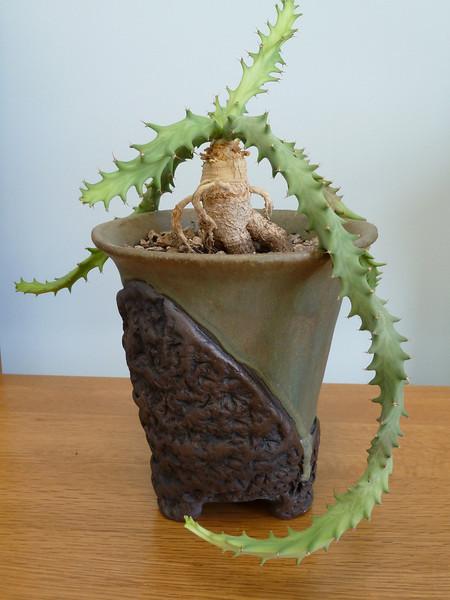Euphorbia, Groenwaldii