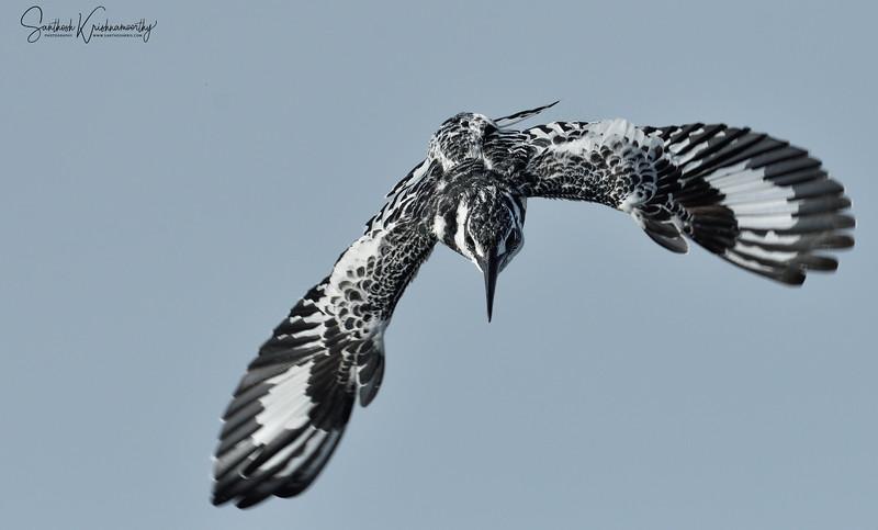 Pied-kingfisher-naivasha-1.jpg