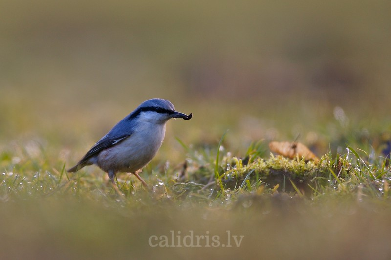 Nuthatch with food its on ground