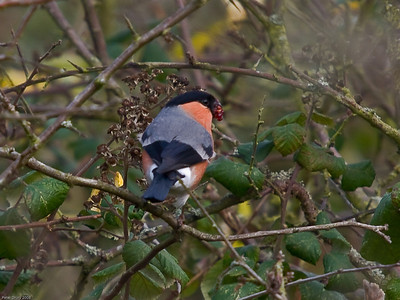 Finches (Fringillidae)